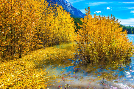 Rocky Mountains of Canada in the Indian summer. The flooded coastal aspen grove. Picturesque turquoise Abraham Lake in a flood. The concept of active and ecological tourism