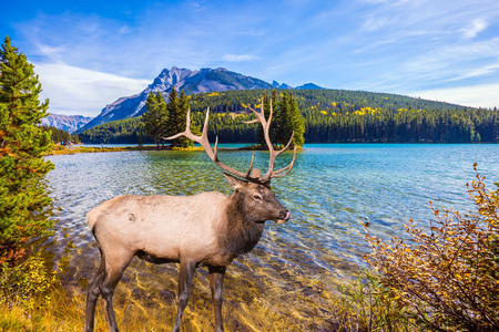 The picturesque lake with emerald water in the Rocky Mountain, Canada. The concept of ecological and active tourism. Noble deer with branched horns resting by the lake