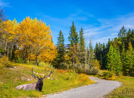 Magnificent noble deer with branched horns resting in an autumn park. Indian Summer in the Rocky Mountains. The concept of ecological and active tourism