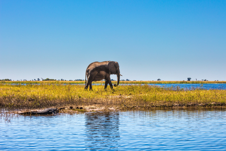 Fascinating journey to Africa. Watering large animals in the Okavango Delta. Elephant. Chobe National Park in Botswana 版權商用圖片 - 86231873