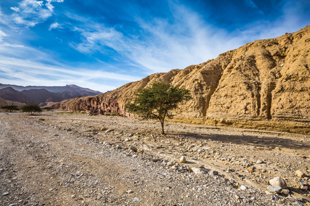 The stone desert in mountains of Eilat. Desert Acacia tortilis in the Black Canyon