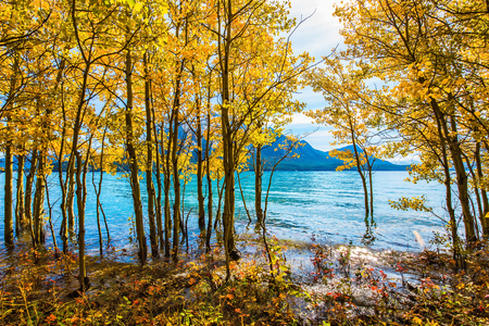 Magnificent turquoise Abraham Lake in a flood. Journey to the Golden Autumn in Rocky Mountains. The flooded coastal gold birchwoods. The concept of ecological and active tourism Stock Photo