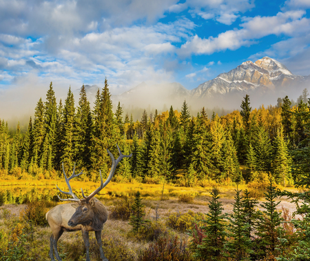 Noble deer with branched horns grazing by the lake and Pyramid Mountain. Cool autumn morning in the Rocky Mountains. The concept of ecological tourism