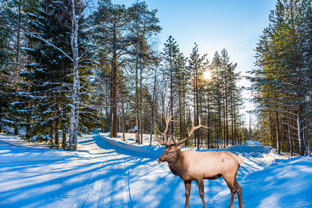turismo ecologico:  Concept of active and ecological tourism. Reindeer on an edge of the winter forest. Cold winter sunset in the Arctic