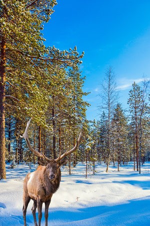 Magnificent reindeer with branched horns. Sunny cold winter day in the Arctic. Concept of active and ecological tourism