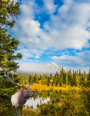Noble deer with branched horns grazing in dense grass by the lake. Cool autumn morning in the Rocky Mountains. The concept of ecological tourism  Stock Photo