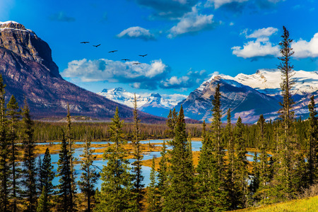 abraham: Flock of migratory birds fly over the Rocky Mountains. Warm September. On the shores of the Abraham lake there are autumn forests. Concept of ecological and active tourism