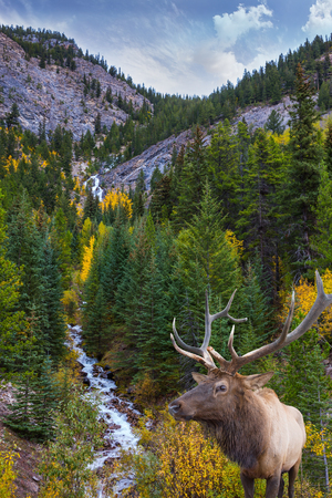 Deer with branched horns. Travel to the Rockies of Canada. Stormy mountain river in a narrow canyon. The concept of active tourism