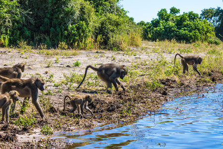 The herd of baboons at a watering place on large river. Chobe National Park in Botswana. The concept of extreme and exotic tourism in Okavango Delta 스톡 콘텐츠