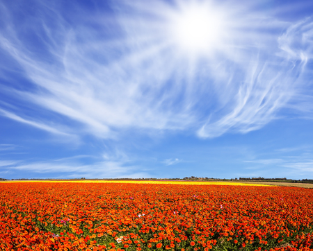 The bright southern sun illuminates the flower fields of red garden buttercups. Strong wind drives the cirrus clouds. Concept of rural tourism