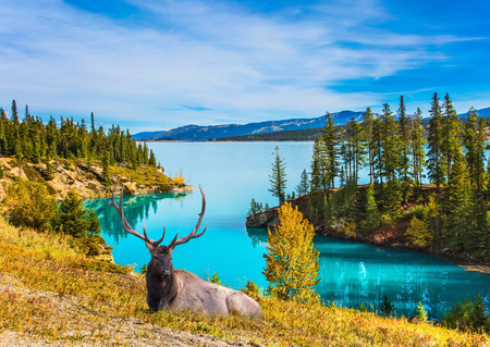 Magnificent Canadian deer with branched horns resting on the shore of the lake. Lake Abraham is an artificial colossal pond in the Rockies of Canada. Concept of ecological and active tourism