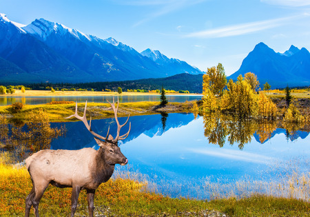 Concept of ecological and active tourism. Canadian deer with horns resting on the shore of the lake. Lake Abraham is the colossal pond in the Rockies of Canada Stok Fotoğraf