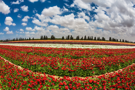 Spring in Israel. Magnificent multicolored flowering garden of buttercups. Kibbutz field next to the Gaza Strip