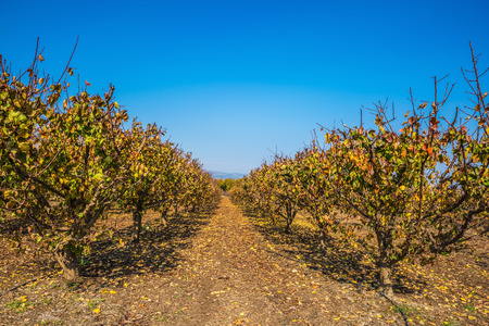 The reserve of migratory birds in the Upper Galilee. Straight rows of fruit trees surrounds Lake Hula Stock Photo