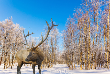 Magnificent reindeer on ski road in the snow-covered aspen grove. Journey to Santa Claus. Bright frosty winter day in a snow-covered forest. Concept of active and ecological tourism