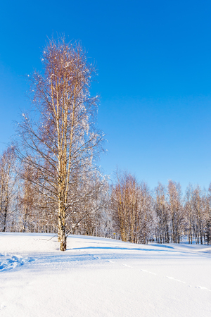 Bright winter frosty day in Lapland. Long shadows on the snow in the aspen grove. The concept of extreme and ecotourism Stock Photo