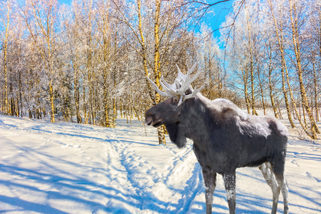 Magnificent elk on ski road in the snow-covered aspen grove. Journey to Santa Claus. Bright frosty winter day in a snow-covered forest. Concept of active and ecological tourism