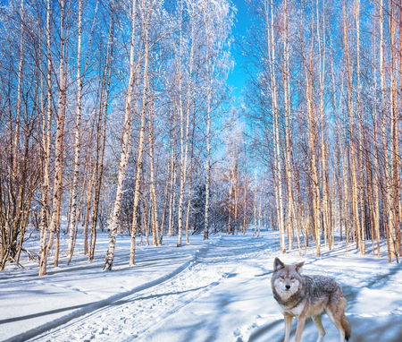 Journey to Santa Claus. Polar wolf  in the snow-covered aspen grove. Bright frosty winter day. Concept of active and ecological tourism Stock Photo