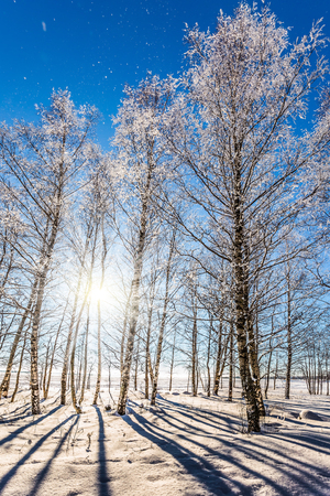 There are many traces in the snow. Winter in the Arctic. The cold northern sun is above the horizon. Transparent cold air of birch grove. The concept of extreme tourism