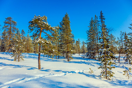Christmas in Lapland. In the lush snow ski trails. Sunny winter day in the snowy thick forest. The concept of exotic and extreme travel