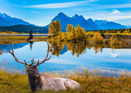 Indian Summer in the Rockies. Magnificent Canadian deer with branched horns resting on the shore of the Abraham Lake. Concept of ecological and active tourism