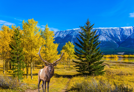 A noble Canadian deer grazes on the Abraham lake. Abraham Lake is an artificial colossal pond with turquoise water. The Rockies of Canada.  Concept of ecological and active tourism