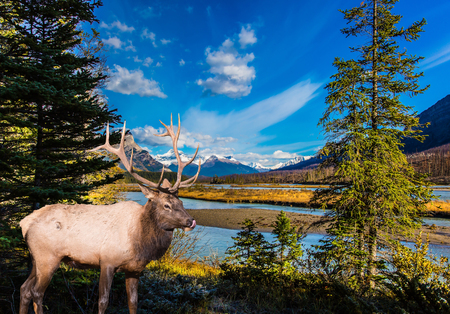 Canadian deer with branched horns resting on the shore of the lake. Lake Abraham is the colossal pond in the Rockies of Canada. Concept of ecological and active tourism