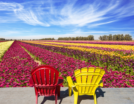 Multi-colored plastic armchairs for relaxation stand next to farmer field for cultivation of garden buttercups. Concept of rural and ecological tourism