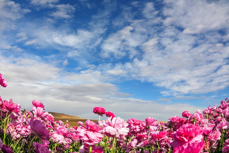 Cool spring in Israel. Adorable pink garden buttercups bloom on a field. Cirrus clouds fly in the blue sky. Concept of ecological tourism