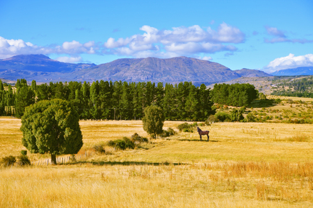 The fields after the harvest. On the side is green avenue of trees. The farmer horse is in the field grazed. South America, Chile