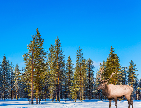 Magnificent reindeer with branched horns. Bright frosty winter day in a snow-covered forest. Concept of active and ecological tourism