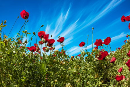 Adorable cirrus clouds in the blue sky. Early spring in Israel. Concept of ecological and rural tourism. Field of blooming anemones of the family of buttercups