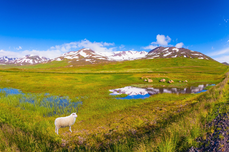 White Icelandic sheep grazing in the meadow Stock Photo