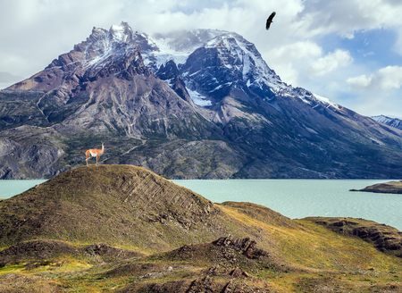 Guanaco near the lake Pehoe. Mountains and lake Pehoe in Torres del Paine National Park, Chile. The concept of active and extreme tourism