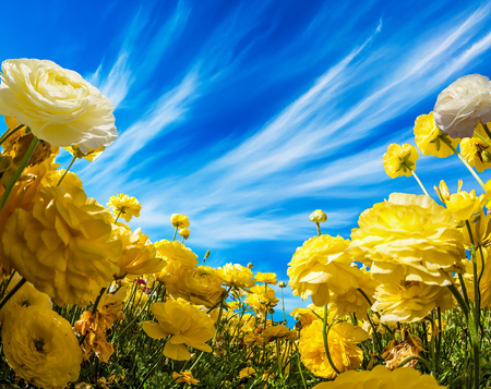 Warm day in May. Large yellow garden buttercups - ranunculus bloom on a farm field. Light clouds in the blue sky. Concept of ecological, rural and photographic tourism Stock Photo