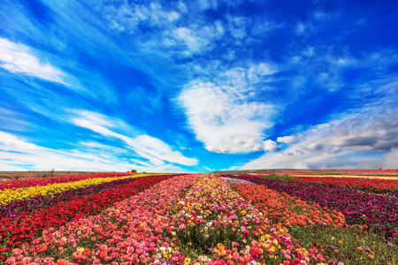 The field of buttercups /ranunculus/ on  windy spring day.  The flowers are brightly stripes and ready to harvest 免版税图像
