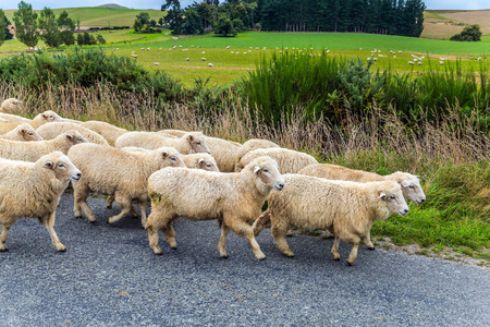 Huge herd of sheep is moving along the highway. Exotic journey to the South Island, New Zealand. Concept of active and ecological tourism 免版税图像