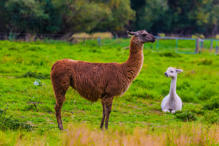 Funny llamas graze on a green meadow. Great Journey to the South Island, New Zealand. Concept of active and ecological tourism Stock Photo