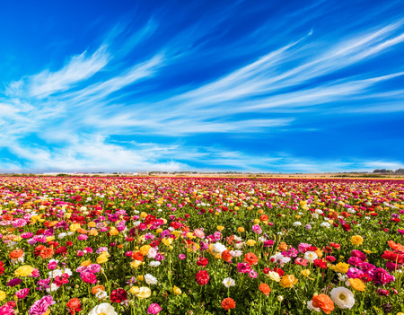 Spring in Israel, the kibbutz in the south. Easter week. Field of flowering garden buttercups. The cumulus clouds. Concept of active and ecological tourism
