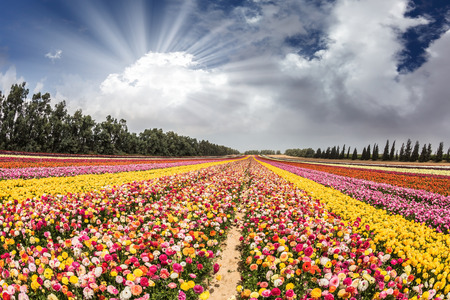 Flower kibbutz near Gaza Strip. The suns rays shine from cumulus clouds.  Spring flowering buttercups