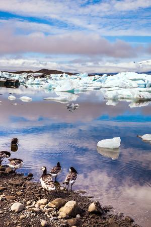The Icelandic geese are grazed on the bank of lagoon. Sunrise illuminates the glacier Vatnajokull and water of Ice Lagoon Jokulsarlon. The concept of northern ecotourism Stock Photo