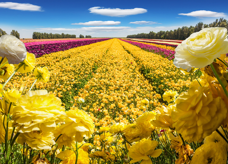 The splendor of flowering multicolored buttercups. Light clouds in a high blue sky. The concept of ecological, rural and photo tourism Stock Photo