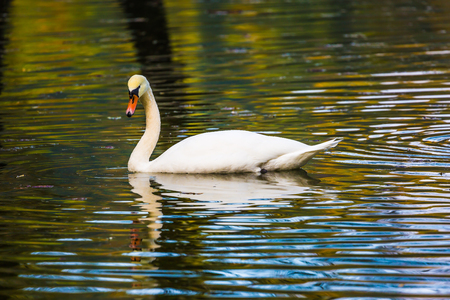 Lonely white swan swims and picturesquely reflects in the smooth calm water. Spring high water. Quiet picturesque lake in Northern Italy. Concept of cultural and ecological tourism