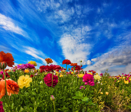 The concept of ecological, rural and phototourism. South of Israel, summer day. Picturesque multi-colored garden buttercups and light clouds. Greeting card