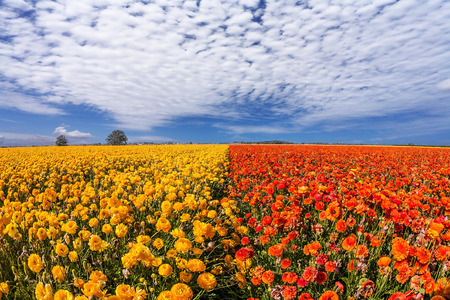 Concept of rural tourism. Light cirrus clouds portend a warm day. The magnificent blossoming fields of garden buttercups