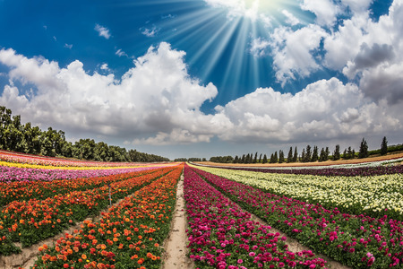 Flower kibbutz near Gaza Strip. The sun's rays shine from cumulus clouds. Spring flowering buttercups Stock Photo