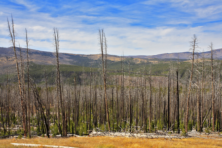 The burned down wood in Yellowstone national park in the autumn