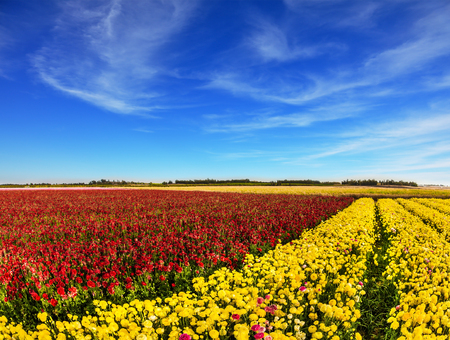 South of Israel, spring day. Light cirrus clouds in the blue sky. Farmer field of flowering  red and yellow buttercups /ranunculus/. The concept of ecological, rural and photo tourism