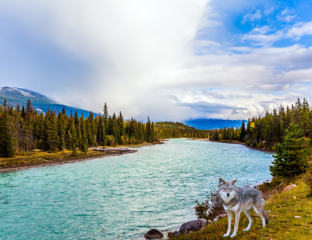 Canadian wolf on the lake in the valley. The Road 91A, Rocky Mountains, Canada. Concept of ecological, active and photo-tourism