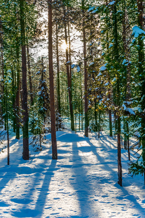 Lapland. In deep snow the ski track for athletes - skiers is laid. The snow-covered coniferous forest. The concept of extreme and active tourism Zdjęcie Seryjne